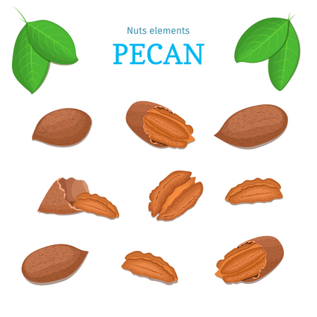 Vector set of nuts. Pecan nut fruit, whole, peeled, piece of half, walnut in shell, leaves. Collection of walnut nuts designer elements for use in packaging design projects flyer healthy eating