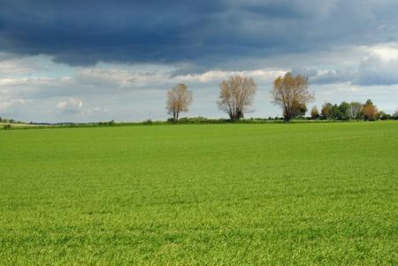 wheatfield: Unripe wheatfield in spring in  Denmark