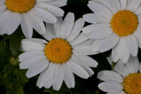 Daisy camomile flower. Daisy flower, Papatya.