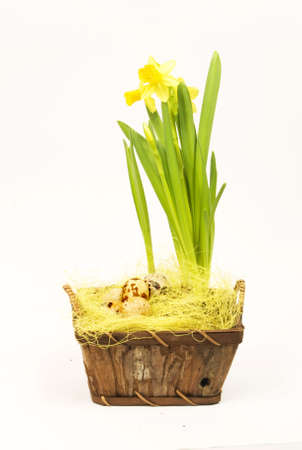 jonquil: jonquil, daffodil, spring flower with eggs in basket isolated on the white background Stock Photo