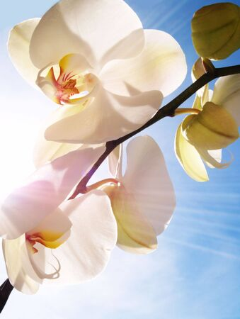 orchid on the blue, sunny sky        photo