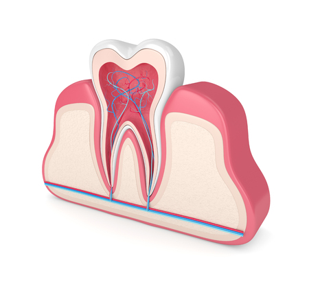 3d render of tooth in gums with nerves and blood vessels over white background