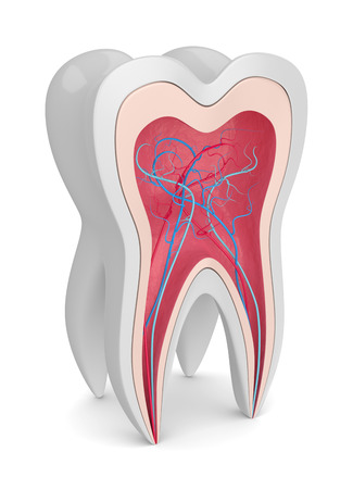 3d render of tooth cross section with nerves and blood vessels over white background