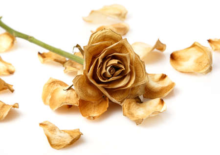 Dry rose flower on white background
