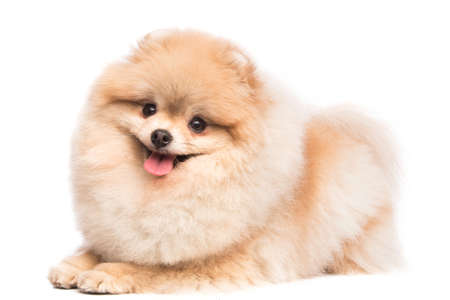 Cute pomeranian spitz on white background