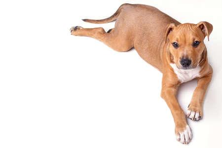 Cute staffordshire terrier puppy in studio Stock Photo