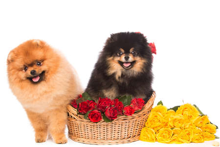copulation: Pomeranian spitz dogs in the basket with flowers on white background Stock Photo
