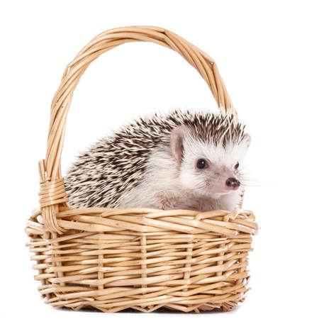 african basket: African hedgehog in the basket on white background