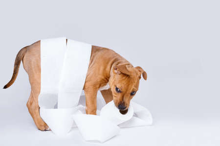 prankster: Cute staffordshire terrier puppy and roll of toilet paper Stock Photo