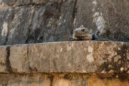 saurian: Black spiny-tailed iguana. Ctenosaura similis.
