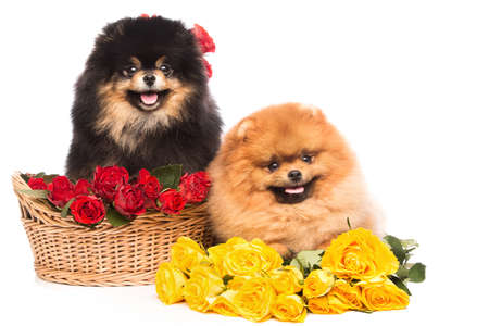 Pomeranian spitz dogs in the basket with flowers on white background Stock Photo