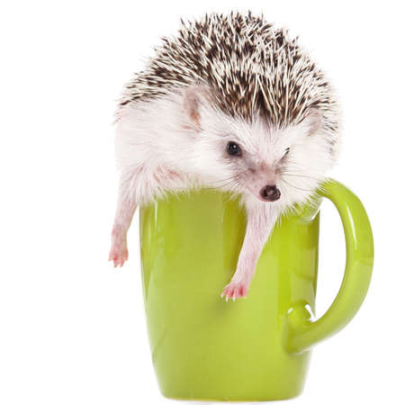 African hedgehog and green cup on white background