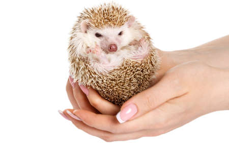 prettiness: Small african hedgehog in female hands on white background