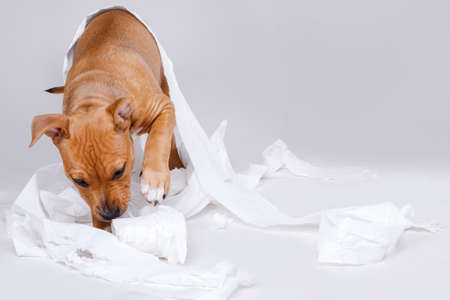Cute staffordshire terrier puppy and roll of toilet paper Stock Photo
