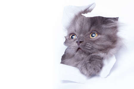 pussy: Cute little kitten looking out from hole of torn paper Stock Photo