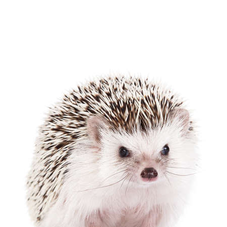 prettiness: African hedgehog on white background