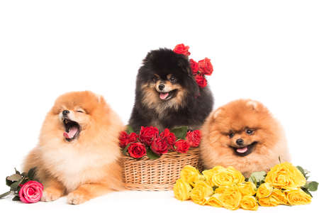 Pomeranian spitz dogs with flowers on white background