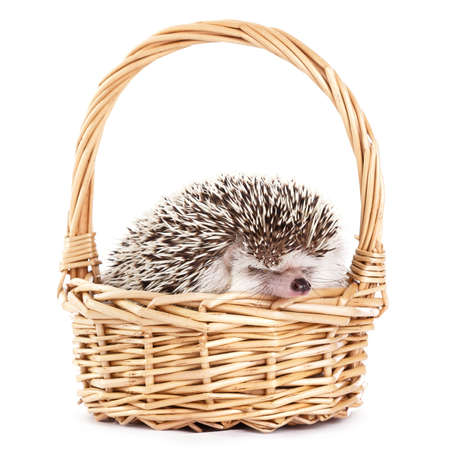 African hedgehog in the basket on white background