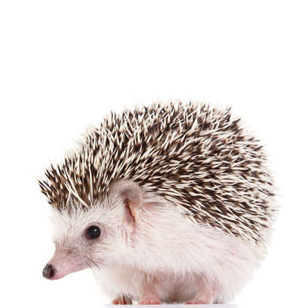 African hedgehog on white background Stock Photo