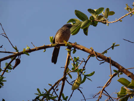 Yellow Billed Babbler - Very well known as Jungle Babbler or Angry Bird