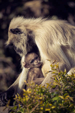 Baboon monkey mother and her child Stockfoto