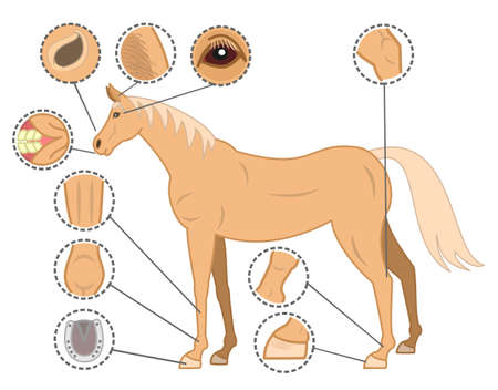 body wound: checkpoints of horse body Illustration