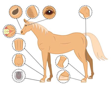 animal body part: checkpoints of horse body Illustration