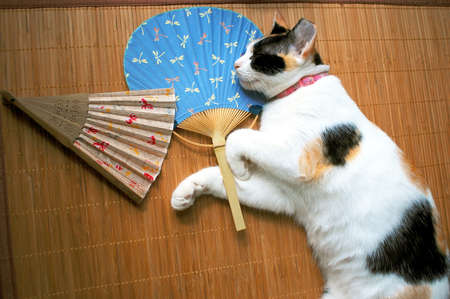 calico cat: calico cat sleeping with Japanese fans Stock Photo