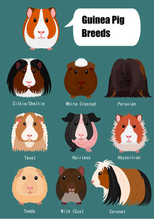 collection of guinea pig Stock Vector - 115779299