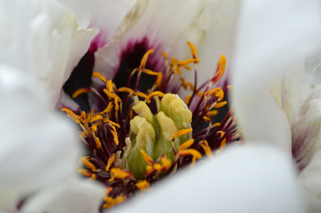 tree peony: Paeonia suffruticosa. Close-up of a white flower tree peony