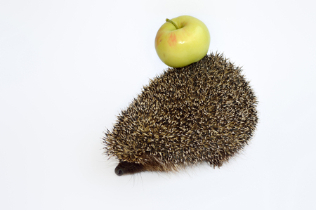 frowned: Hedgehog with apple frowned. Isolated on white