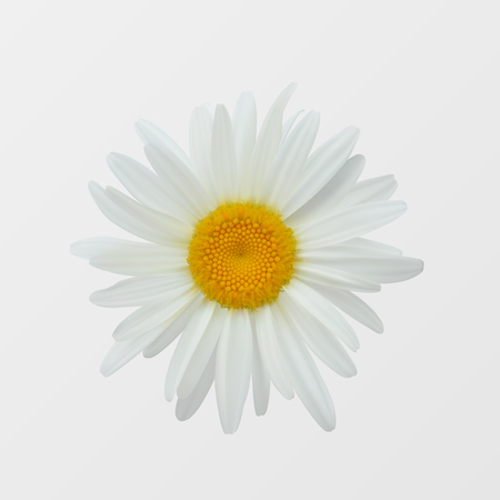 Chamomile flower isolated on white close-up. Realistic vector illustration