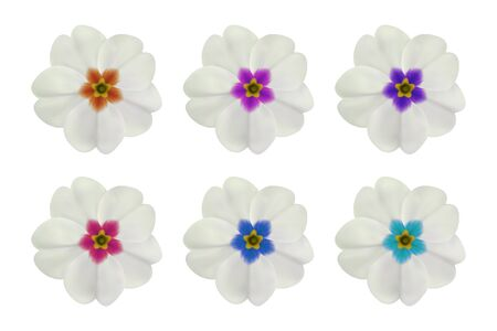 Primula, primrose flower on white. Set of 6 white flowers with different center color. To design with flowers for packaging, cards, greetings, offers, beauty, herbal, cosmetics, spa. Realistic vector Ilustração