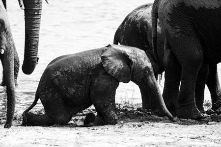 cute baby elephant muddy standing up - black and white technique