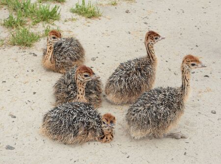 ostrich chick: Little ostriches