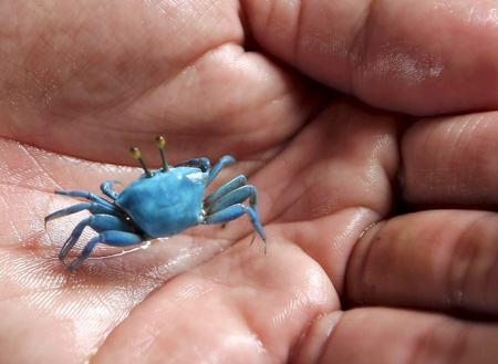 otganimalpets01: The rare found species of Blue Tiny Crab which caught in village in outskirt of Mukah district..