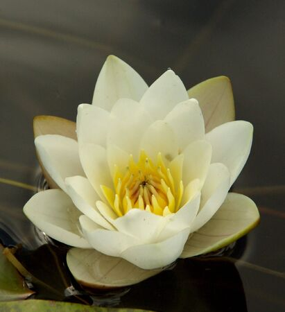hydrophyte: flower, water-lily