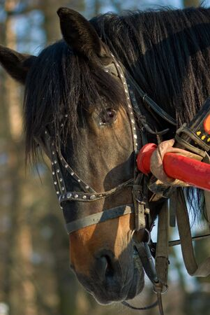 hoofed: horse, Muzzle of a horse, Animal Head, Animal, Beautiful, Nature, Mane, Outdoors, Beautiful, Harness, Bridle, Halter, Candid, Day, Vibrant Color, Hoofed Mammal Stock Photo