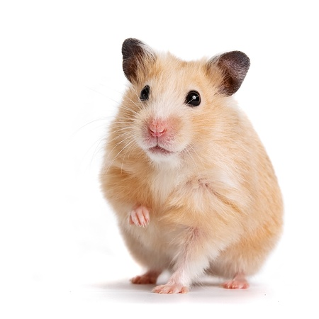 rodents: hamster