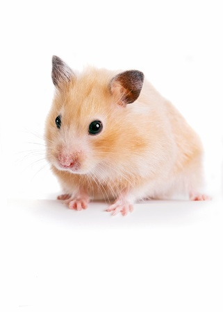 Hamster Standard-Bild - 12092933