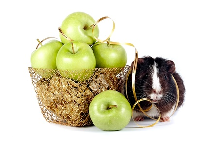 Guinea pigs with apples in a gold basket on a white background