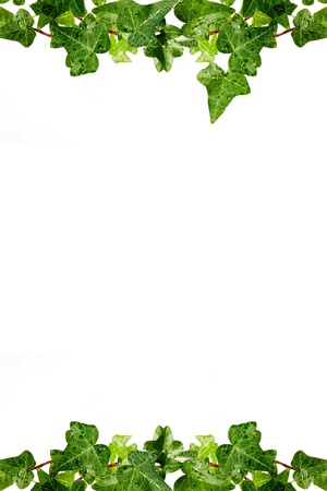Framework from a herb hedera in dewdrops on a white background Stock Photo - 12541265