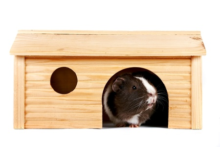 Guinea pigs in a wooden small house on a white background Stock Photo
