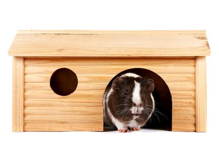 cavie: Le cavie in una piccola casa di legno su uno sfondo bianco