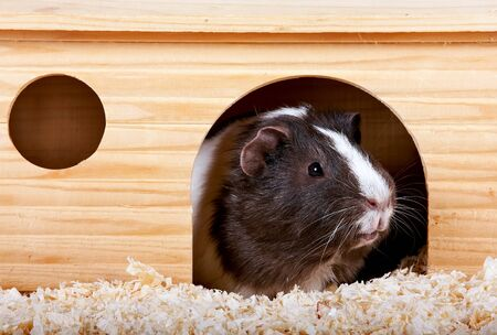 Guinea pigs in a wooden small house on sawdust Stock Photo