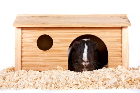 Guinea pigs in a wooden small house on sawdust on a white background