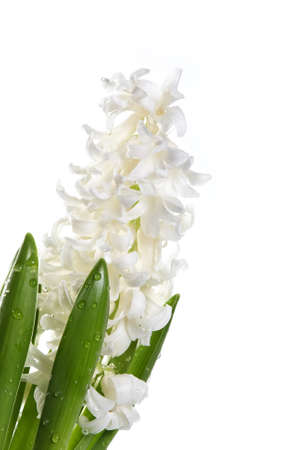 White flowers of a hyacinth on a white background
