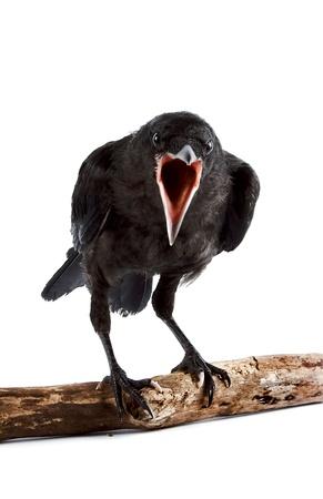 L'uccello si trova una torre su un ramo su uno sfondo bianco Archivio Fotografico - 14038217