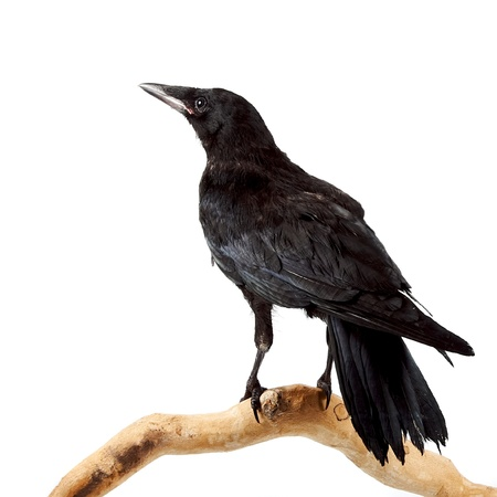 The bird a rook sits on a branch on a white background photo