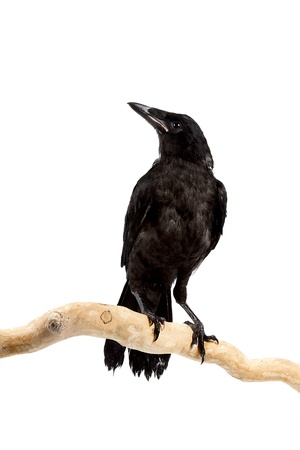 The bird a rook sits on a branch on a white background